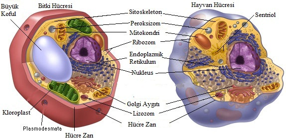 Bitki ve Hayvan Hücresi Arasındaki Farklar.