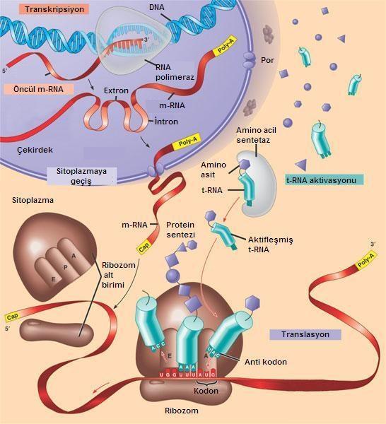 Protein biyosentezi nasıl çalışır