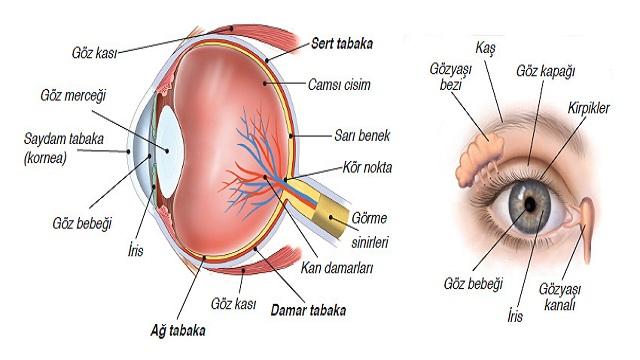 Gözün Yapısı ve Göz Sağlığı